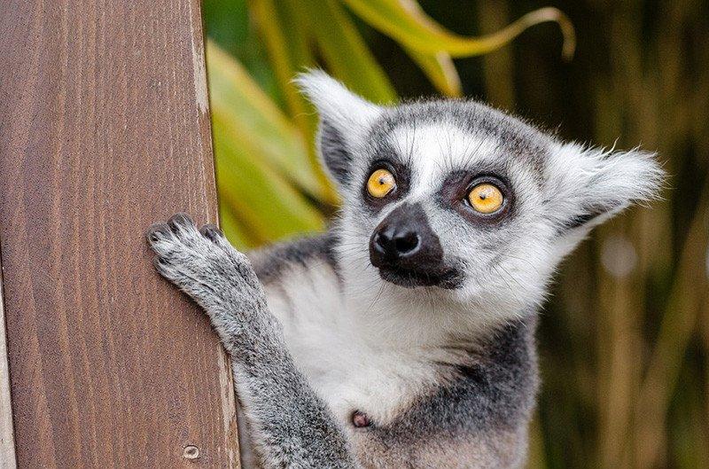 Cute Madagascar Lemur.