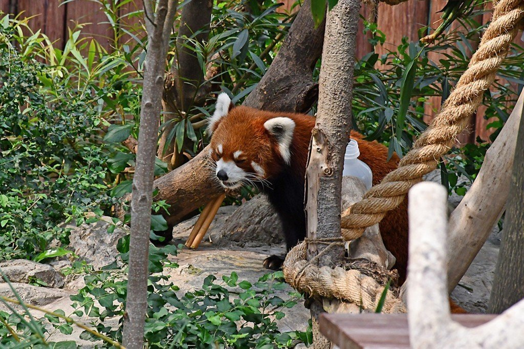 Ocean Park Hong Kong Red Panda