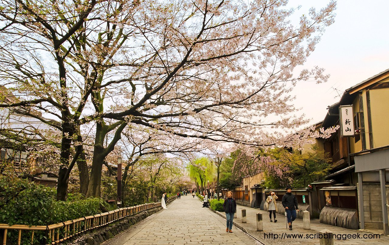 Shirakawa River and Sakura.