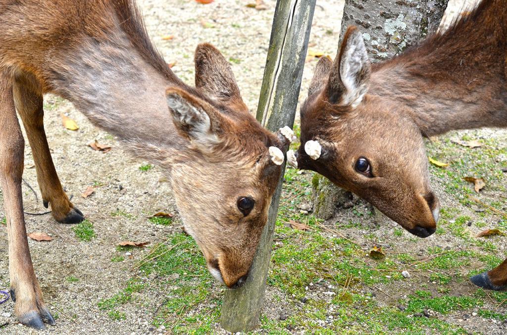 Miyajima Island Deer.
