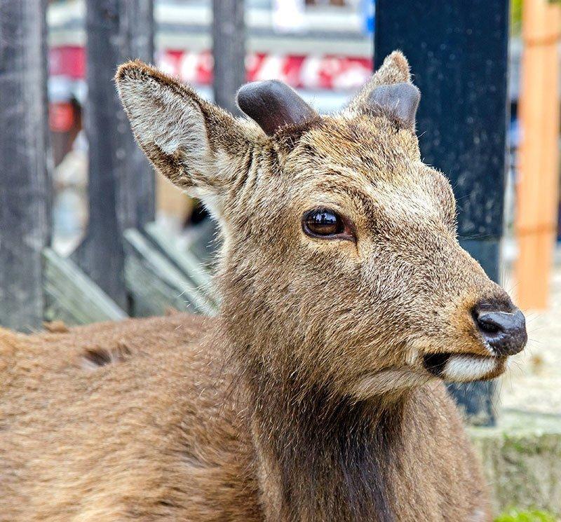 Cute Miyajima Deer