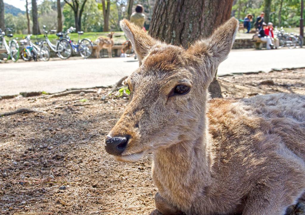 Nara Deer Park, Japan.