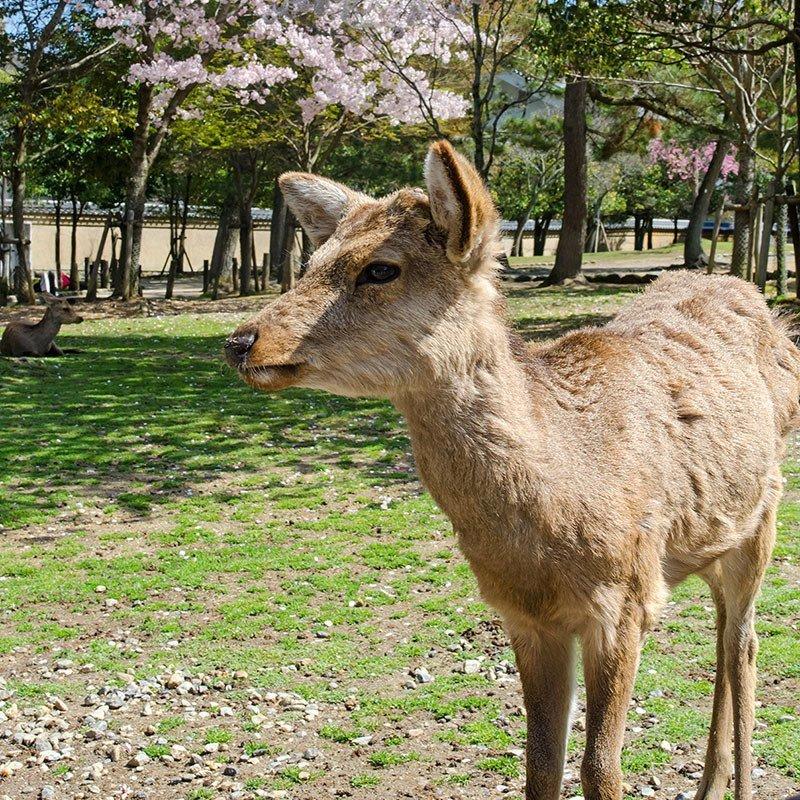 Nara Deer and Cherry Blossom.