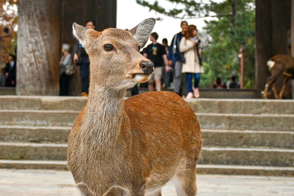 Young Nara Park Deer.