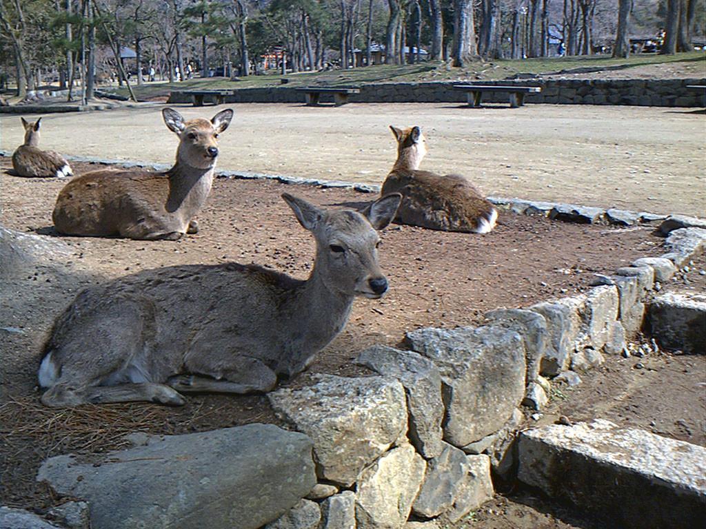 Nara Park Deer in 2006